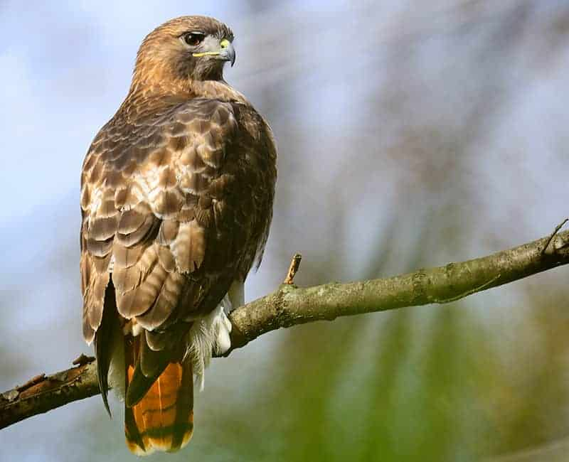 Red-Tailed-Hawks