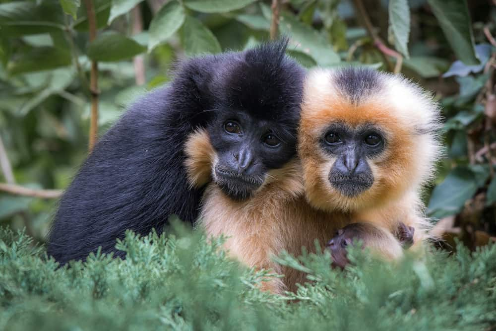 crested gibbon couple