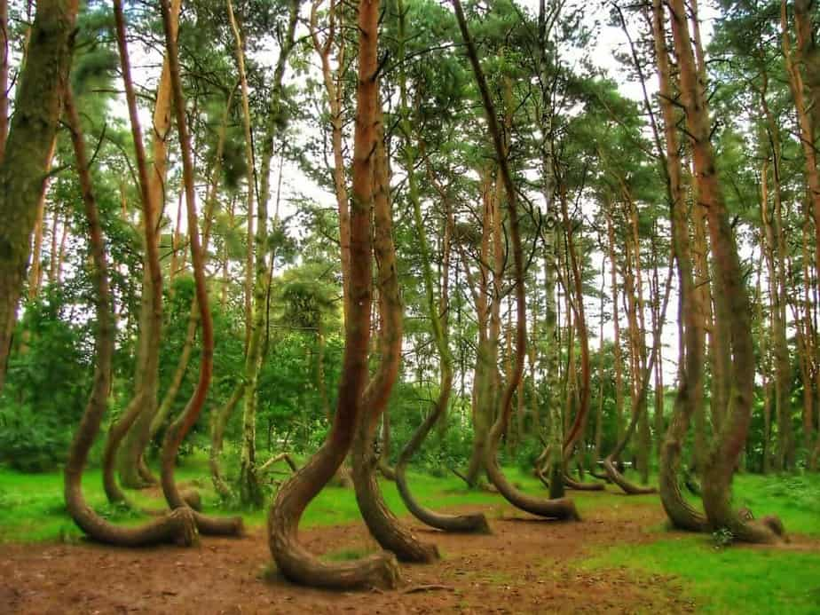 exploring the The Crooked Forest - Poland