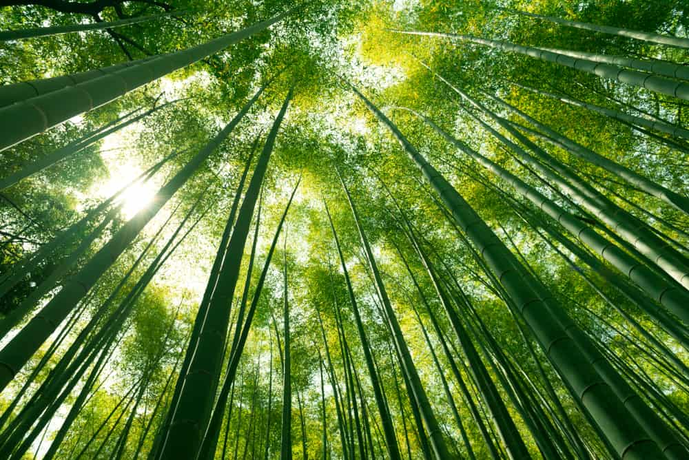 Bamboo forest is a great place to escape quarantine