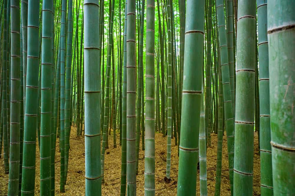Bamboo stalks in a forest where we escape quarantine