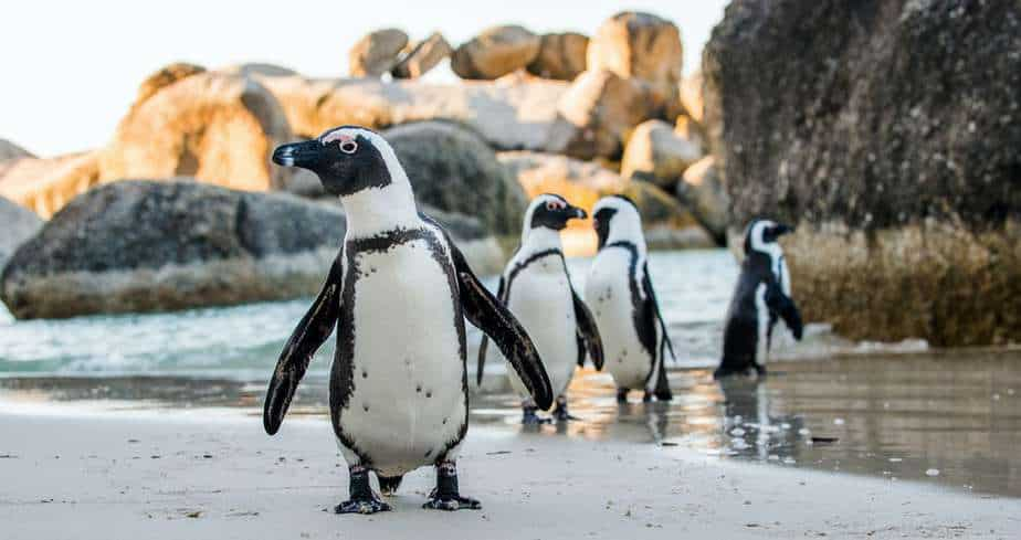 African penguins live streaming